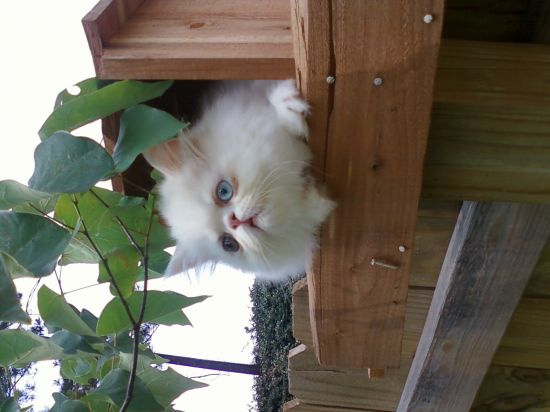 Adopt Kili (Hobbit Kittens) a Himalayan, Domestic Long Hair