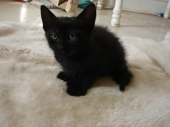 Adopt Jet a Bombay, Domestic Short Hair-black