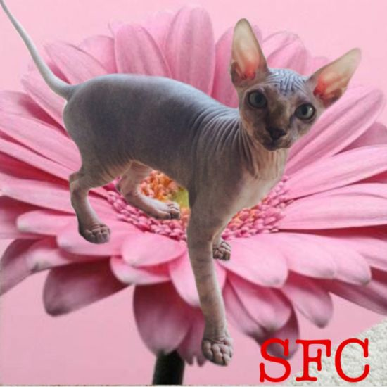 Sphynx Kitten Male Seal Point Blue Eyed