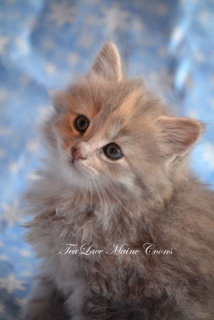 Adopt 18 a Domestic Long Hair - orange and white