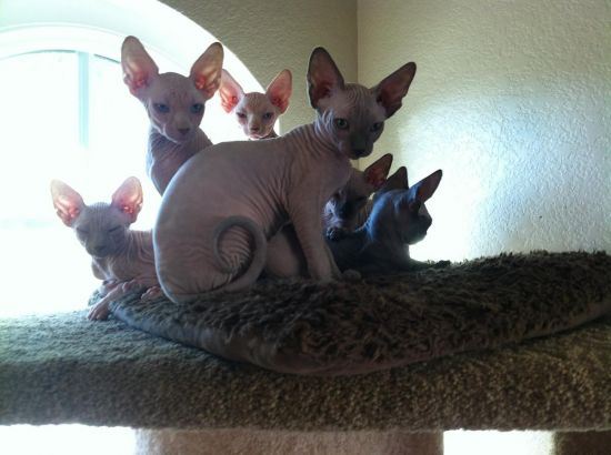 Outstanding male and female sphynx kittens