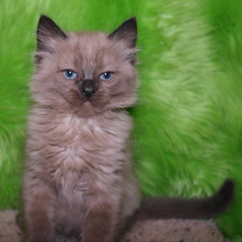 Adopt Greystoke a Domestic Short Hair