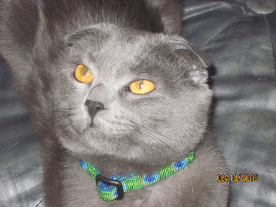 Adopt Zoomba a Domestic Mediumhair cat in Rossville, TN (13469374)