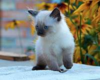 chocolate-point-colorpoint-cat-for-sale
