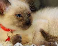 blue-eyed-cat-for-sale-in-charleston-sc
