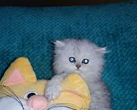 golden-silver-cat-for-sale