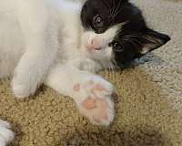 cat-for-sale-in-ardmore-ok