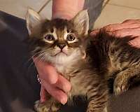 long-hair-cat-for-sale-in-ardmore-ok