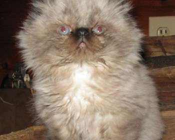 Himalayan Cats Available for Adoption in Ohio
