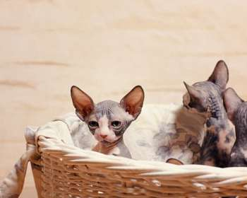 Sphynx Cats Available for Adoption in Wyoming
