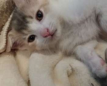 Manx Cats for Sale