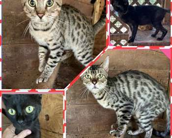 Bengal Cats Available For Adoption In Florida