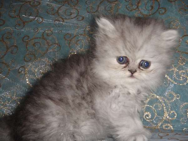 shaded-silver-cat-for-sale