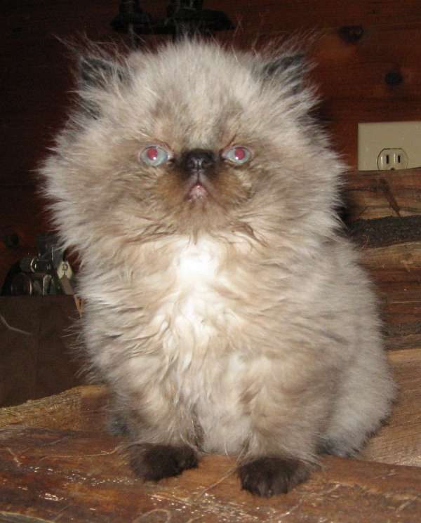 long-hair-cat-for-sale-in-ohio