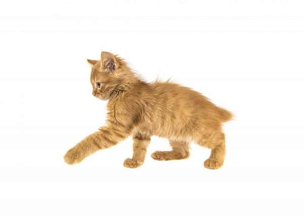light-brown-tabby-cat-for-sale