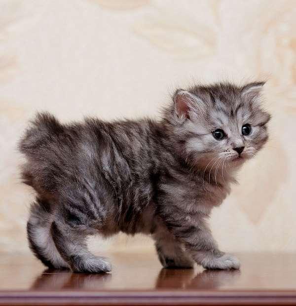 light-brown-medium-hair-cat-for-sale