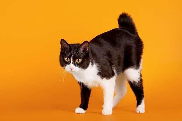 black-tortoiseshell-cat-for-sale