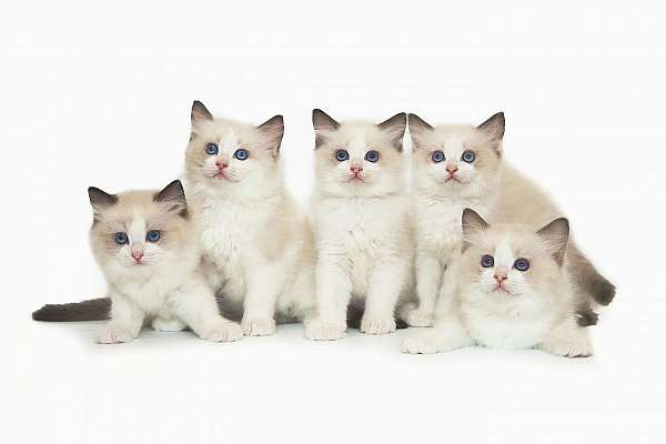 blue-point-colorpoint-cat-for-sale