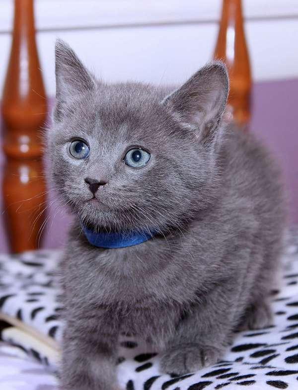 solid-medium-hair-cat-for-sale