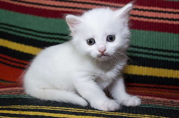 cream-bicolor-cat-for-sale