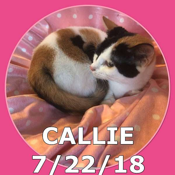 calico-cat-for-sale-in-hudson-fl