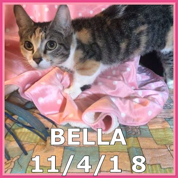 calico-cat-for-sale