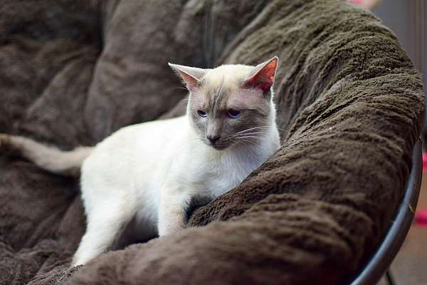 chocolate-point-seal-point-short-hair-cat-for-sale