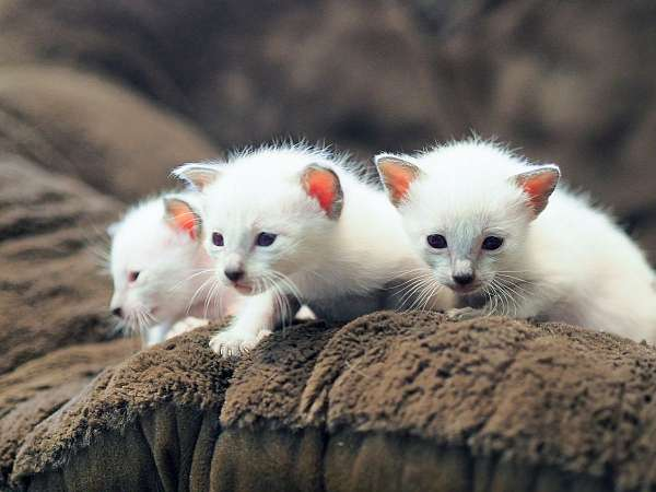 chocolate-point-seal-point-blue-eyed-cat-for-sale
