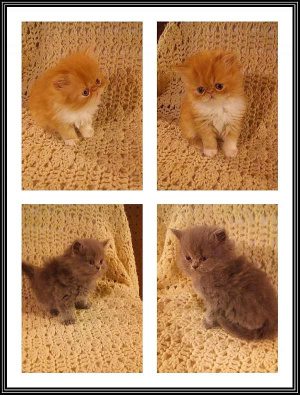 red-white-solid-cat-for-sale
