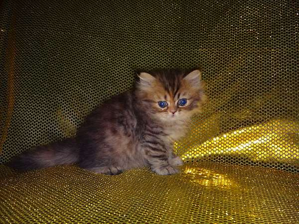 golden-silver-long-hair-cat-for-sale