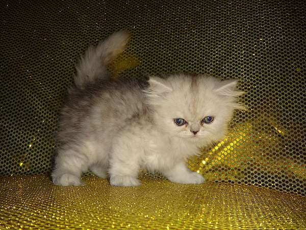 long-hair-cat-for-sale-in-north-miami-fl