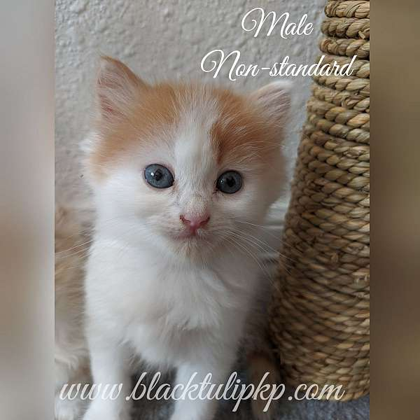 red-white-cat-for-sale-in-kenedy-tx