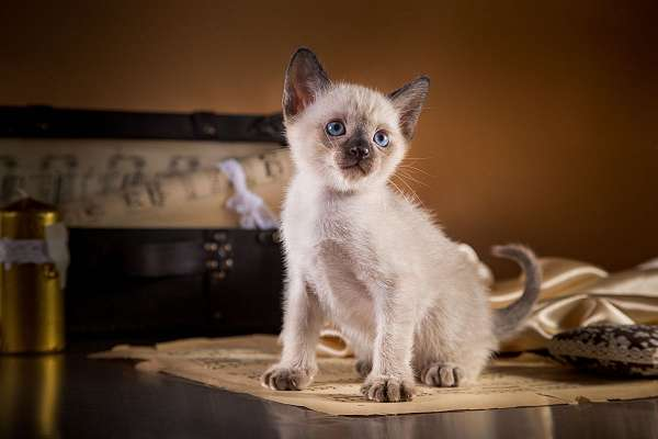 cat-for-sale-in-chicago-il