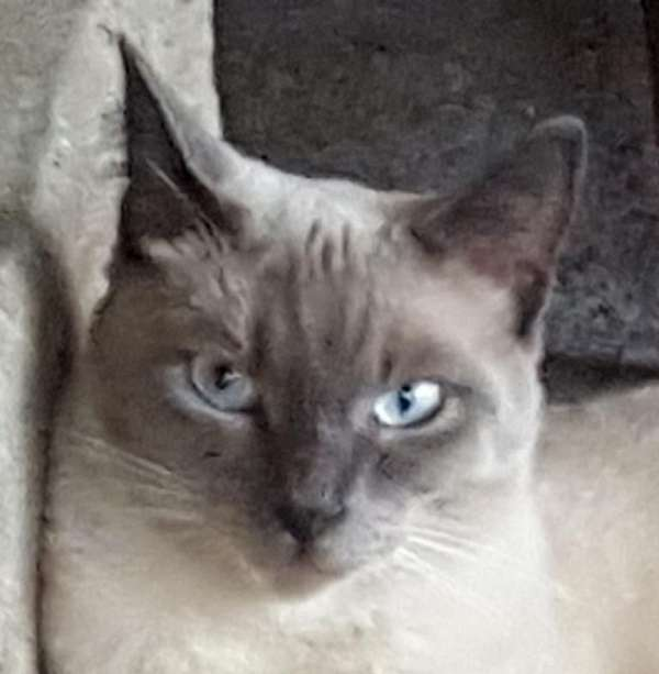 blue-point-cat-for-sale