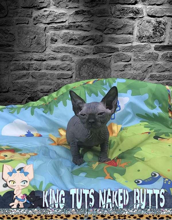 black-cat-for-sale