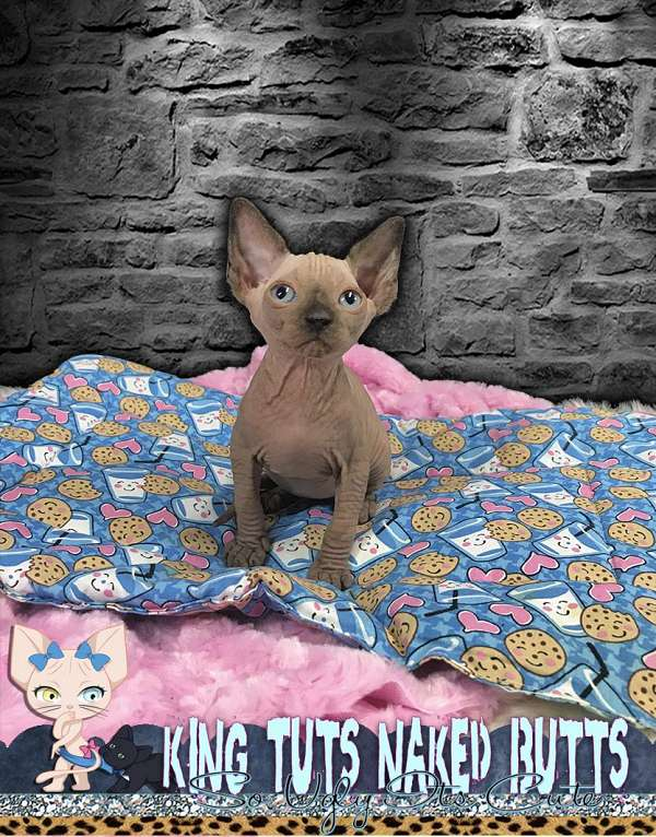 brown-hairless-cat-for-sale