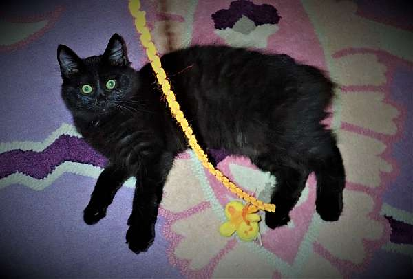 amber-eyed-green-eyed-cat-for-sale