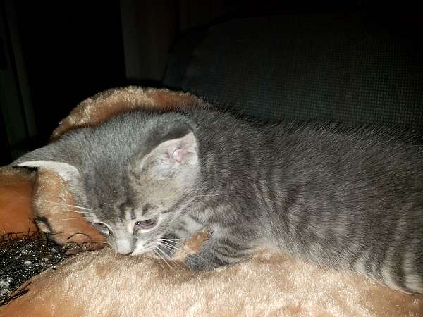fawn-silver-cat-for-sale
