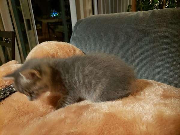 grey-medium-hair-cat-for-sale