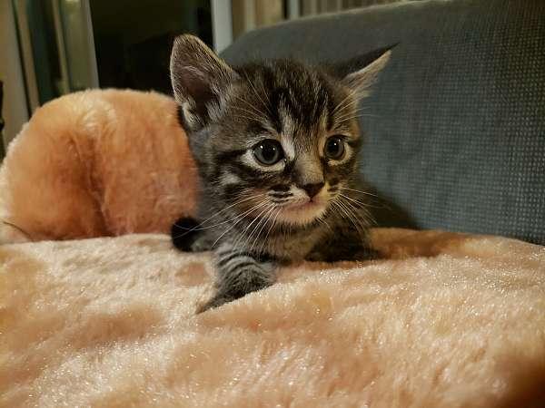 black-brown-medium-hair-cat-for-sale