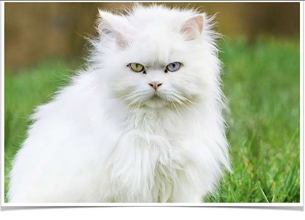 white-blue-eyed-green-eyed-cat-for-sale