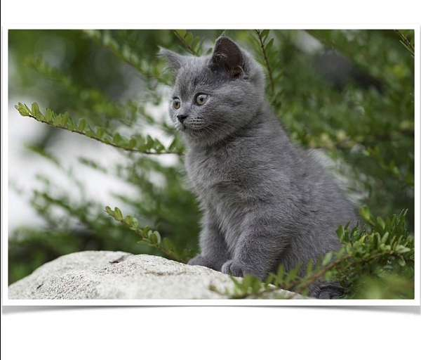 grey-cat-for-sale-in-vancouver-wa