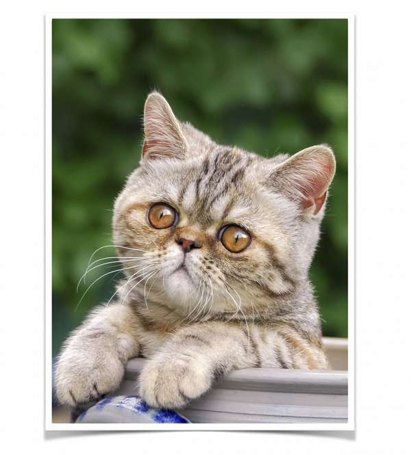 cream-tan-short-hair-cat-for-sale