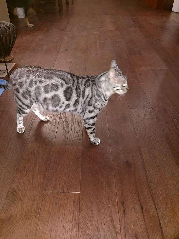 cat-for-sale-in-kearney-ne