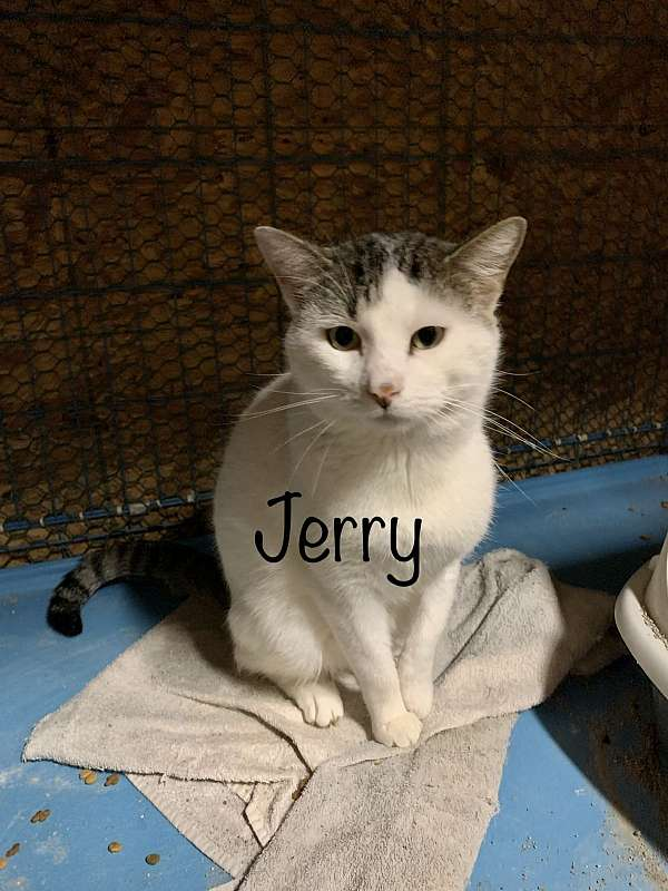 white-cat-for-sale-in-hot-springs-ar