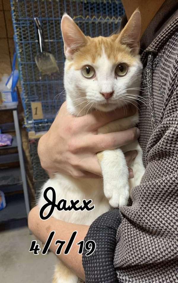 orange-white-neutered-cat-for-sale