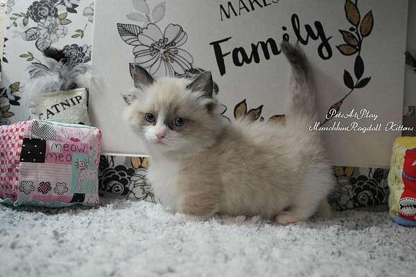medium-hair-cat-for-sale-in-grand-haven-mi