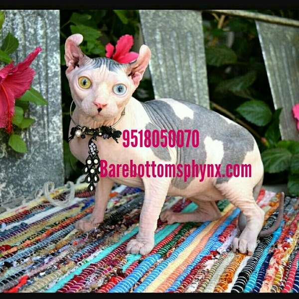 dilute-cat-for-sale