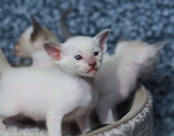 lilac-blue-eyed-cat-for-sale