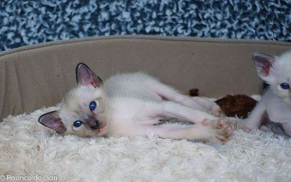 seal-point-colorpoint-cat-for-sale